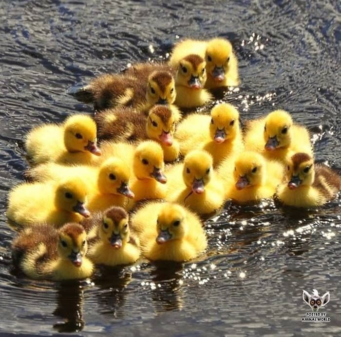 I Could Just Adopt All Of Them Aduckpicaday Duck Nature Ducks Birds Bird Animal Animals Veg In 2020 Pet Ducks Pet Birds Cute Baby Animals