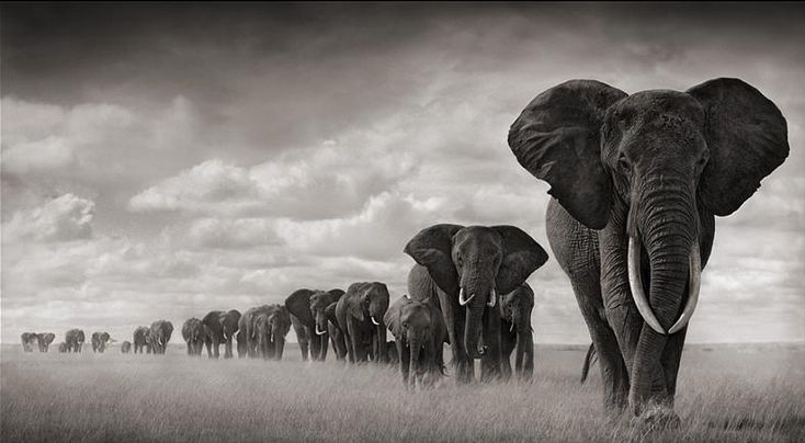 Nick Brandt. Elephants walking through grass, Amboseli, 2008. Leading Matriarch Killed By Poachers, 2009.