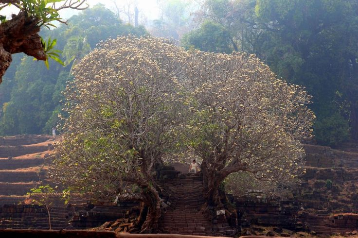 A photo taken in Champasak, titled 'Even in dry season the frangipani trees are stunning.' Photo taken by Adam Poskitt.