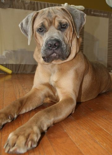 Nikki is an adoptable Cane Corso Mastiff Dog in Newtown, PA Nikki is a 8-9 month old Cane Corso puppy that found herself in an overcrowded shelter. She was ... ...Read more about me on @Petfinder.com.com