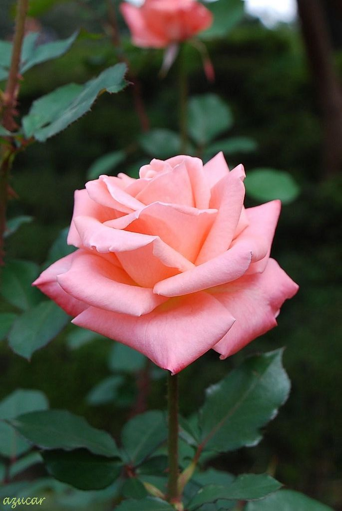 'Sonia' | Florists Rose, Grandiflora, Hybrid Tea. Meilland 1970 | Flickr - @ azucargeminis