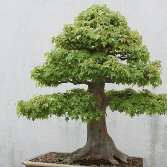 30 pcs/pack American Maple Bonsai Seeds