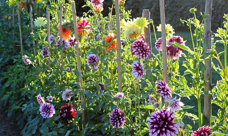 dahlias-meadowburn-farm-gardenista