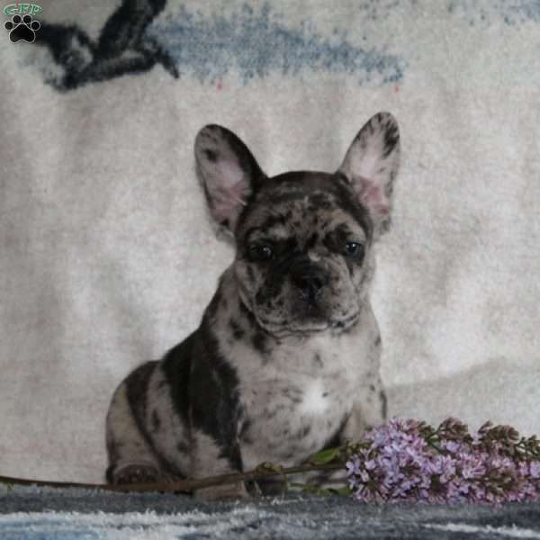Chip French Bulldog Puppy For Sale In Pennsylvania French