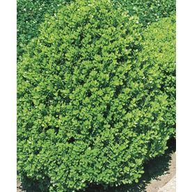 3.63-Gallon Wintergreen Boxwood Foundation/Hedge Shrub (L3448) Nursery