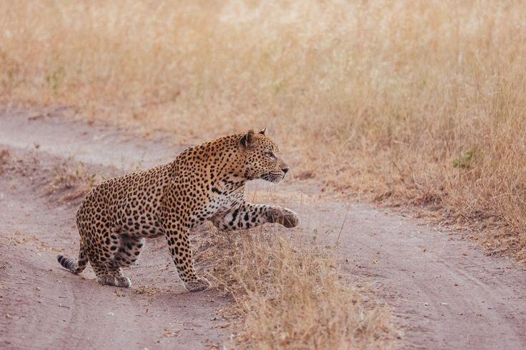 Maxabeni caçando. Maxabeni é um belo leopardo que vive na Reserva Sabi Sand Game em  Lowveld de Mpumalanga, África do Sul.  https://yummy-planet.com/en/chasing-the-hunter-safari-experience-in-south-africa