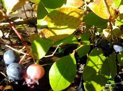 Jersey Blueberry Plants | Burnt Ridge Nursery & Orchards-Burnt Ridge Nursery
