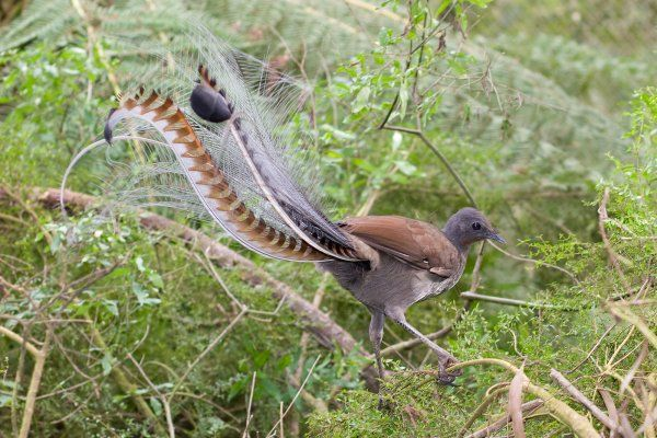 The Superb Lyrebird or Oiseau Lyre is a species of grouse bird native to Australia. The superb lyrebird was discovered by John Wilson in 1788.