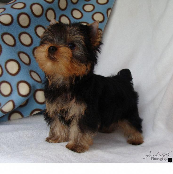 Find out more on the feisty yorkie puppies size