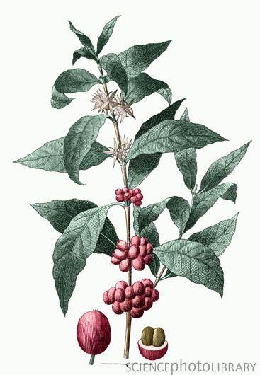 Botanical Illustration Of The Coffee Plant Coffee Arabica