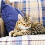 Como limpiar orina de gato de la alfombra
