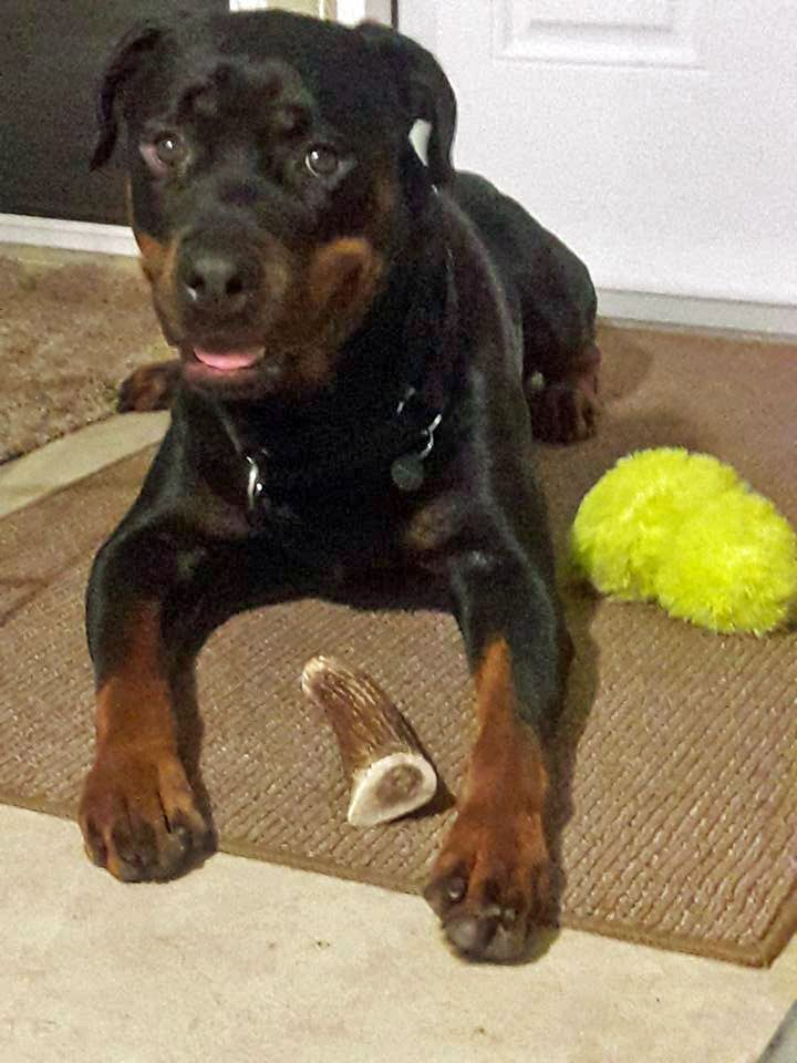 Rottweiler Dog For Adoption In White Hall Ar Adn 723568 On