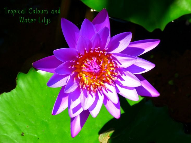 Water Lily from Why Basking in a Bali Style Resort in Broome is good for you by Jo Castro