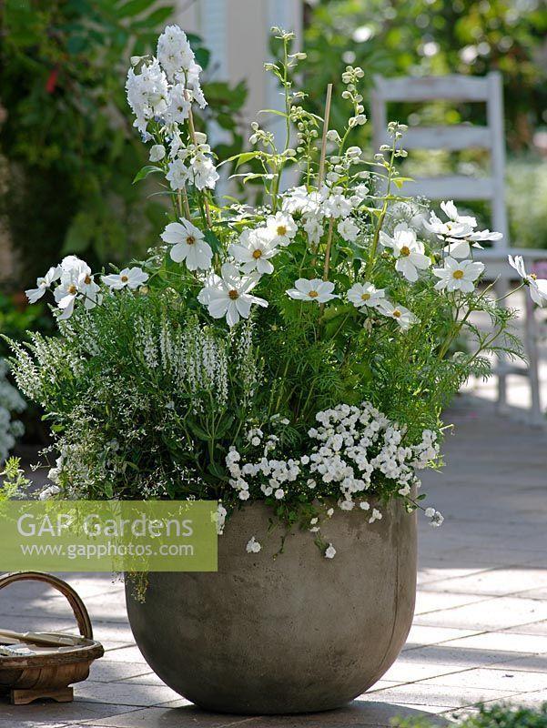 Cosmos Sonata – Weiß, Delphinium – Galahad, Salvia Nemorosa und # 3 – Garten