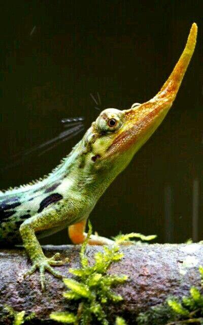 Pinocchio lizard from Ecuador