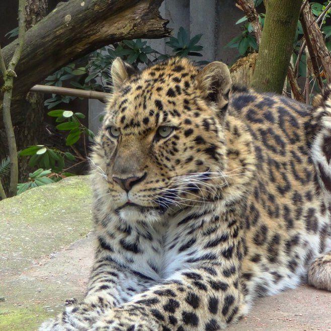 Amir leopard.. #leopard #amurleopard #zoo #oregonzoo #portlandzoo #cats #oregon #upperleftusa #usa
