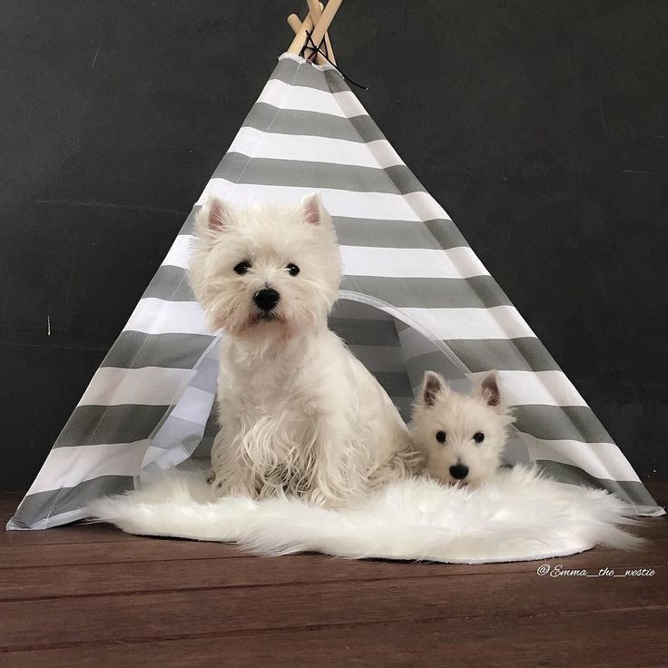 We have a new house Thanks @dougandco for this AMAZING teepee we love it! by emma_the_westie