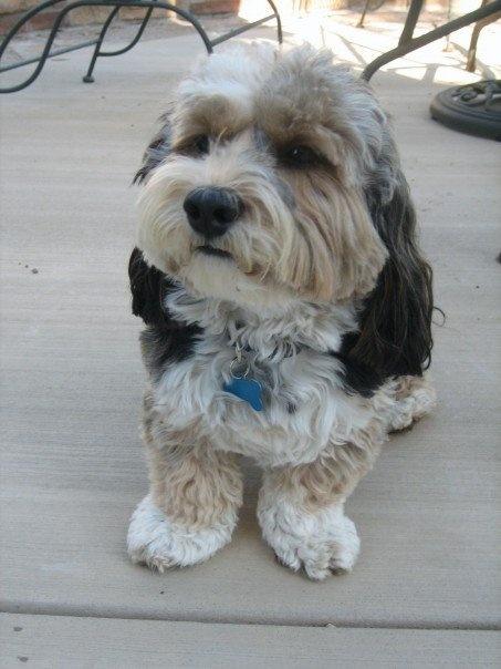 Bailey Lhasa Poo Poodle mix Lhasa apso Lhasa