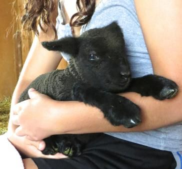 Western Woollies - Babydoll Southdown Sheep Breeder - Babydoll Sheep, Babydoll Lambs, Babydoll Sheep For Sale