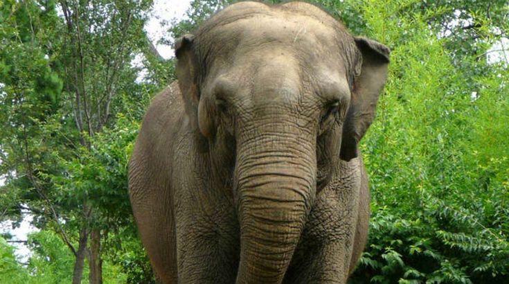 Elefante asiático: en peligro principalmente debido a la deforestación de las zonas que ocupan, y a su caza furtiva para obtener el preciado marfil de sus colmillos.