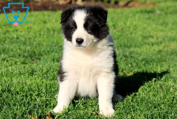 Domino border collie puppies collie puppies for sale