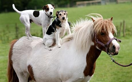Jack Russells are always up for new adventures! (Freddie and Percy, both Jack Russells, ride Daisy, the Shetland pony)