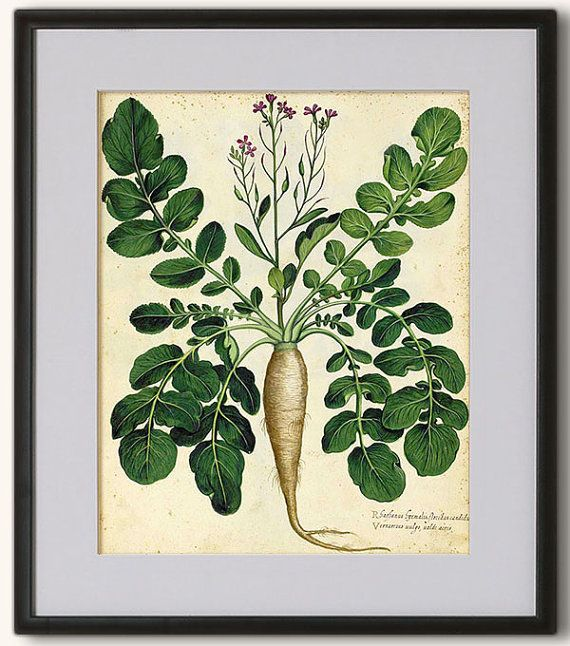 Lovely Print of Parsnip 8x10 inch 20x25 cm. Rare by RoyalArtPrints