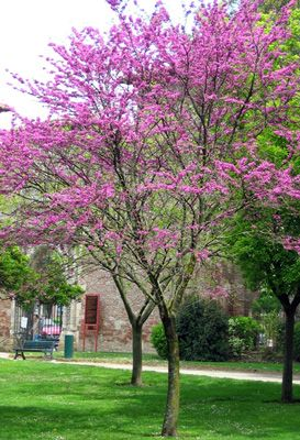 CERCIS SILIQUASTRUM (JUDAS TREE): Canopy tree. Can be shaped to a single-stemmed tree or to a more shrub-like multi-stemmed plant. Grows to 4-8m, with a canopy spread of 3-5m, which can be open and broadly spreading, loosely rounded or flat. Prefers low to moderate shade (seasonal).Slow growth rate. Avoid hot dry winds and overly exposed sites. Full sun yeilds deeper foliage colour. Can tolerate a wide range of soil types and dry sites but prefers moist, deep and well drained fertile soils.