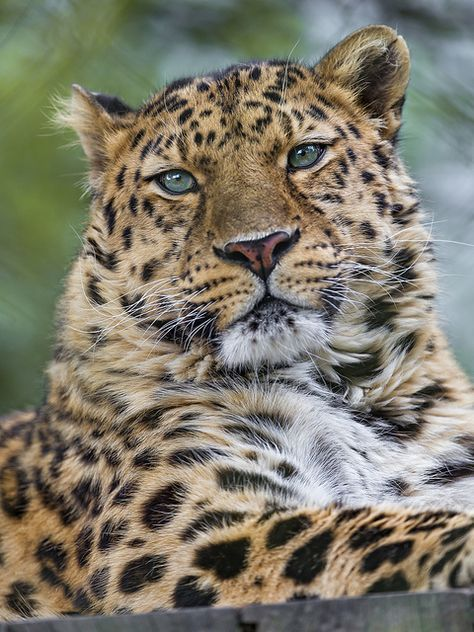 Amur leopard #bigcats #catpower #feline