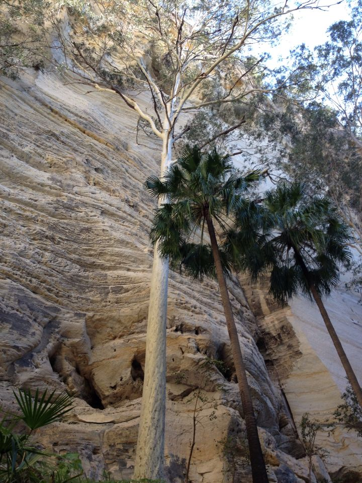 Canarvon Gorge gums and palms in harmony together at the Ampitheartre