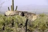 Un grande gufo cornuto in volo sopra il deserto che mostra il movimento di ala stock photography