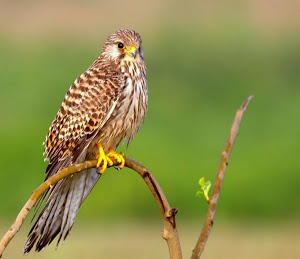 Common Kestrel by Prasanna Bhat -  Click on the image to enlarge.