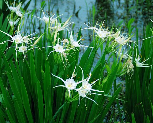 Bog spider lily hymenocallis liriosme prek water for Koi zone pond aquatics