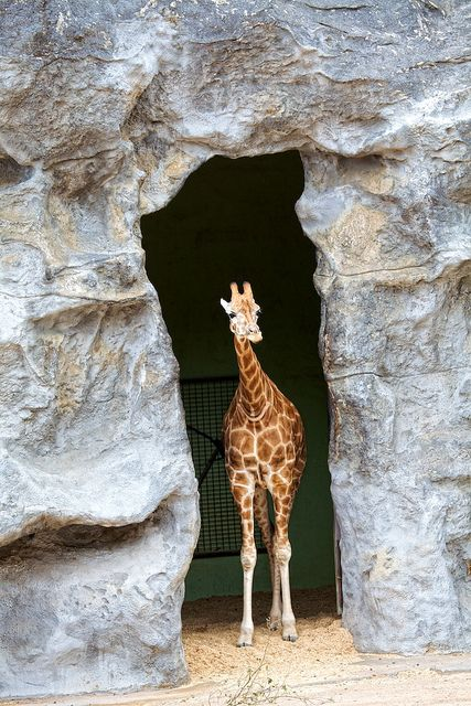 Baby giraffe Taronga Zoo Sydney by Tanya Puntti (SLR Photography Guide), via Flickr