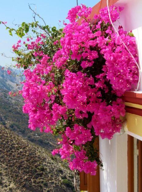 Casa di Olympos. Fiori della Grecia. #karpathos #Olympos #Colors #Greece #windows #bouganville #fiori