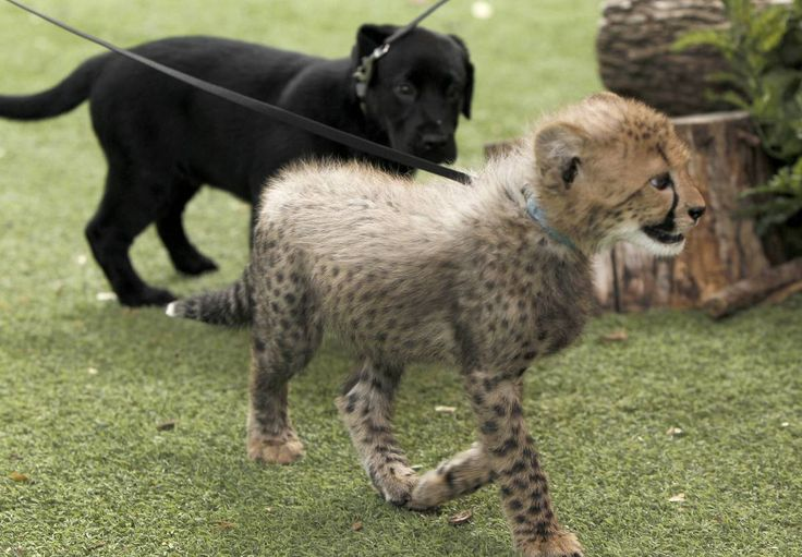 At the Dallas Zoo, a young black Lab is being raised with two young cheetahs. Zoo workers hope the lab will have a calming influence on the two exotic cats.