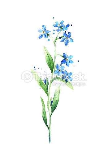 Blue Forget Me Not Flower isolated on white background, Watercolor