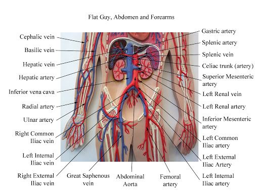 17 best images about anatomy on pinterest head and neck