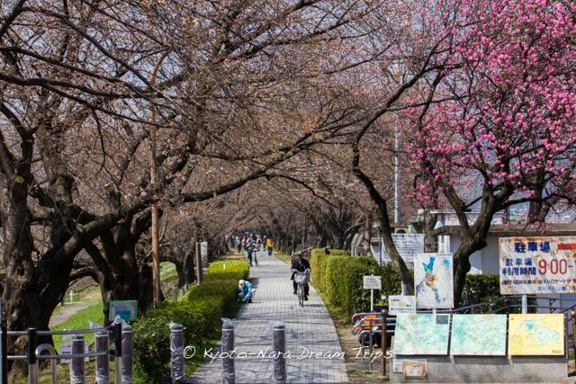 The 1.4 kilometres Sewari-tei long river bank, located at the junction of Uji-gawa River and Kizu-gawa River. The river bank, which is a part of Yodo-gawa Riverside Park, has about 250 Yoshino cherry trees. It is a famous spot for Hanami (Cherry Blossom Viewing). The Yawata Sakura Festival is held this year from April 1st till April 10th.
