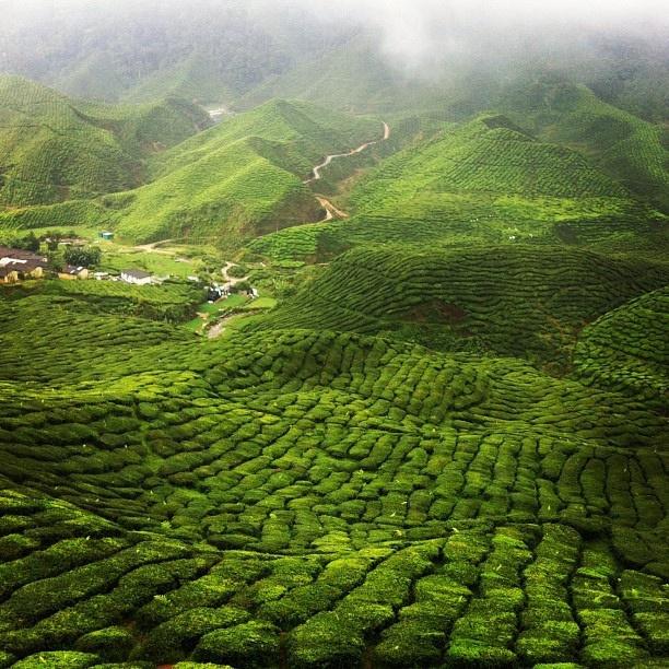 Tea Plantations - Cameron Highlands, Malaysia