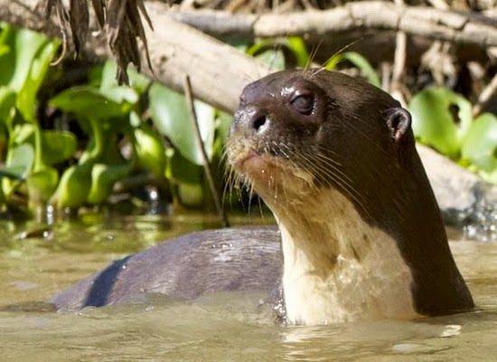 Laporan Penelitian: Repertoar Berang-Berang Raksasa Pteronura brasiliensis