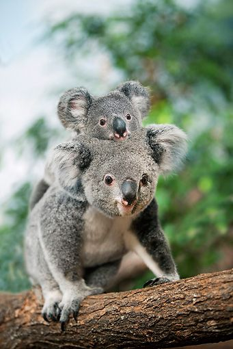 Koala Mother carrying her joey on her back by Gerard Lacz