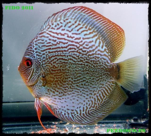Las 25 mejores ideas sobre peces disco en pinterest for Criadero de peces de colores