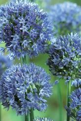 Allium caeruleum- For pollinators