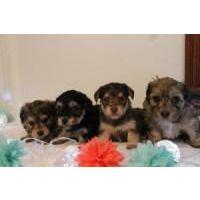 Puppies for sale - Yorkiepoo, Yorkie Poos, Yorkiepoos, Yorkipoos - ##f_category## in Goshen, Indiana