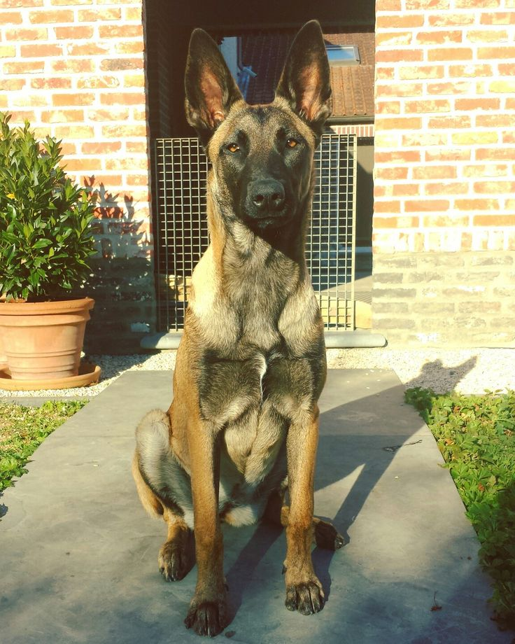 Belgian Malinois, Mechelse herder