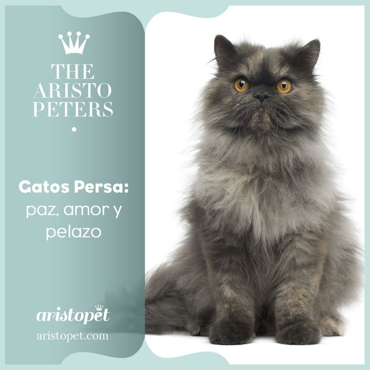 Los gatos persa son muy populares hoy en día. Son de pelo largo, fino, denso y sedoso 🐾. Se llevan bien con niños y perros, son dulces, afectuosos, sociables y sienten una gran predilección por su ARISTOPADRE ❤️️  ➡️️ ¿Quieres saber más sobre estos peludos? Entra aquí http://bit.ly/2lC0fnq