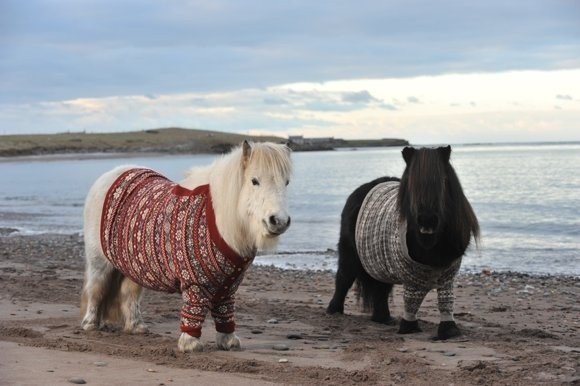 Shetland ponies in cardigans! !!