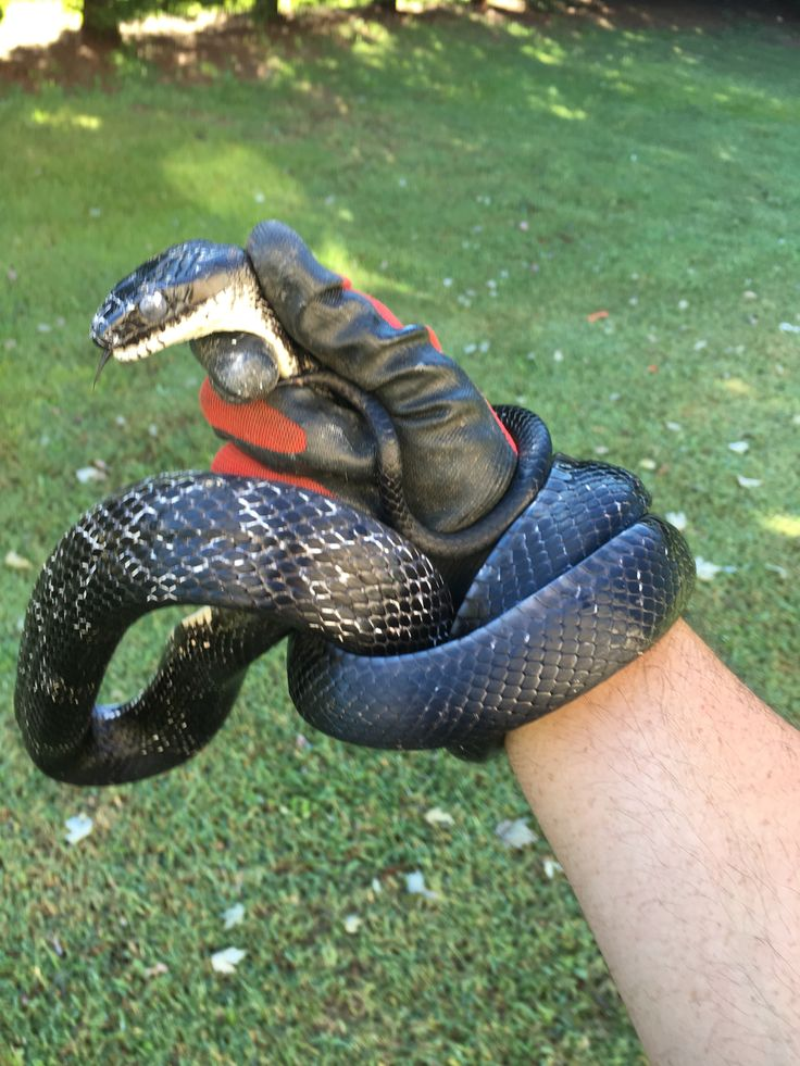 Pest Control Nuisance Wildlife Greenville Sc Snake, Pest