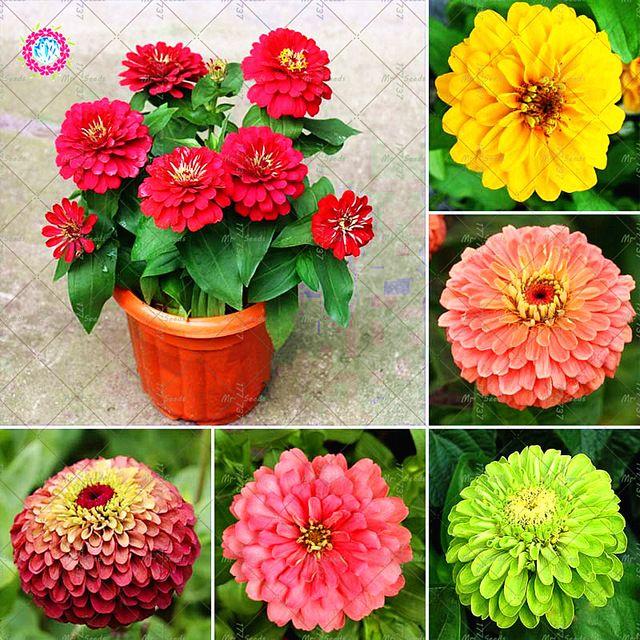 50 Sztuk Ogrod Bonsai Nasiona Cynia Multicolor Seedstrue Piekne Fireball Chryzantemy Nasiona Kwiatow Doniczkowe Rosl Flower Pots Flower Seeds Ornamental Plants